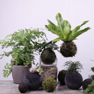 Kokedama, Creating Potless Plant